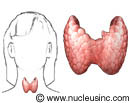 Location of thyroid gland in the body with close-up of thyroid gland