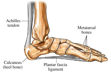 Foot anatomy showing the plantar fascia ligament