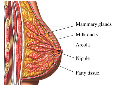 Anatomy of the breast