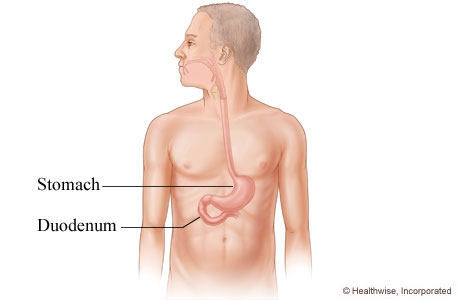 The duodenum and its location in the body