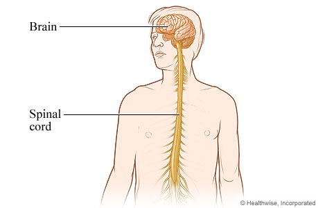 Picture of central nervous system