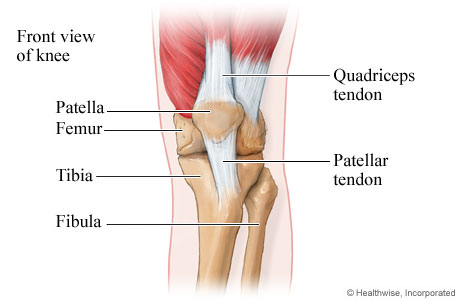 Tendons at the front of the knee