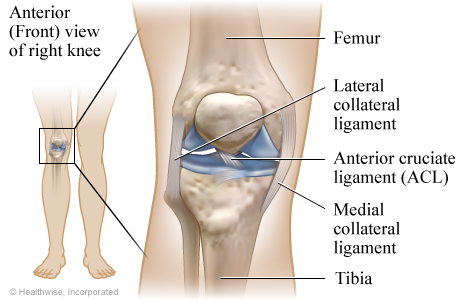Picture of the ligaments of the knee: Anterior (front) view of the right knee